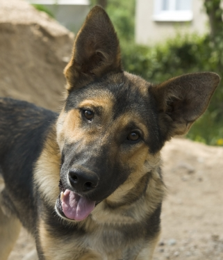 GermanShepherd stockxpertcom id1792307 To Neuter Or Not To Neuter Your Dog? Why Yes Or No?